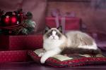 Обои Кошечка породы рэгдолл отдыхает на подушке, на фоне елочных украшений и подарков