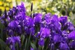 Обои Фиолетовые ирисы на размытом фоне