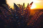 Обои Люпины на фоне солнца, фотограф Irina Kostenich