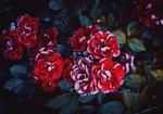 Обои Красные розы на кусте, фотограф Irina Kostenich
