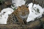 Обои Леопард на бревне