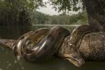 Обои Анаконда лежит на стволе дерева в реке