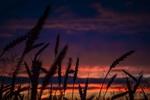 Обои Колосья на фоне неба на закате, фотограф Irina Kostenich