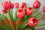 Обои Букет красных тюльпанов (8 Марта)