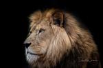 Обои Задумчивый взгляд льва, by David Whelan