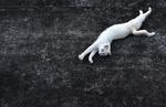 Обои Белая кошка растянулась на дороге