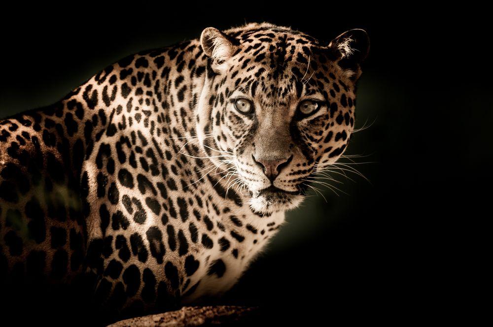 Обои Настороженный взгляд леопарда, by IanZA на рабочий стол  Взгляд Леопарда