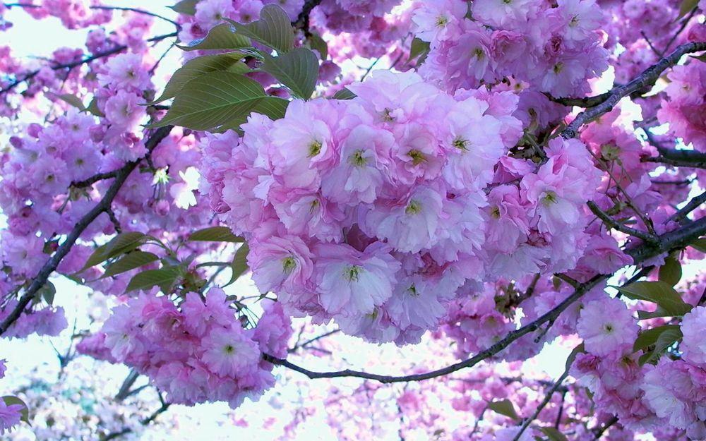 картинки на телефон цветущие деревья мечтание