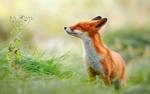 Обои Лиса к чему-то принюхивается в траве, фотограф Roeselien Raimond