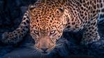 Обои Леопард со злым взглядом