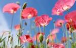 Обои Розовые маки на фоне голубого неба