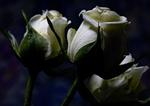 Обои Три белые розы на темном фоне