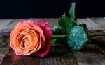 Обои Роза в капельках воды лежит на деревянной поверхности, фотограф Piotr Wytrazek
