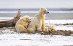 Обои Семейка белых медведей на снегу
