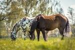 Обои Две лошади на природе