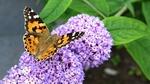 Обои Бабочка сидит на сиреневых цветах