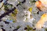 Обои Весенняя цветущая вишня, фотограф Gаbor Adonyi