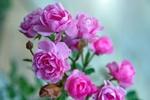 Обои Розовые розы, фотограф Gаbor Adonyi