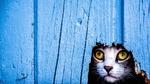 Обои Мордочка любопытной кошки, выглядывающей через дыру в заборе, автор Jesus Fuentes