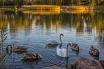 Обои Лебеди и утки плавают в реке, на поверхности воды отражается осенняя природа, Финляндия / Finland, by Marsal1