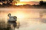 Обои Лебеди на воде, фотограф D Llewellyn-Jones