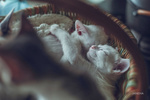 Обои Котята спят в корзине, фотограф Jane Ha