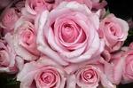 Обои Розовые розы крупным планом