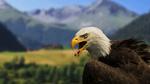 Обои Белоголовый орлан на размытом фоне