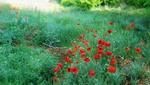 Обои Красные маки среди зеленой травы