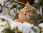 Обои Персиковый кот лежит на снегу возле веток ели, фотограф Regina