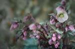 Обои Бледно розовые цветы вида Helleborus - hybridus на размытом фоне, фотограф JHanna