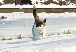Обои Кошка идет по снегу, by Shin jong hun