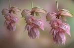 Обои Бледно розовые цветы вида Medinilla Magnifica на размытом фоне, фотограф JHanna