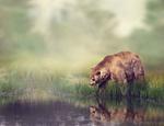 Обои Бурый медведь на берегу пруда смотрит в воду, by JuhaSa