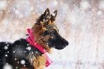 Обои Щенок немецкой овчарки в розовом шарфике стоит под падающим снегом