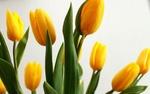 Обои Желтые тюльпаны на белом фоне
