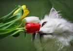 Обои Белая пушистая кошка нюхает букет из трех разноцветных тюльпанов