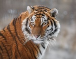 Обои Взгляд амурского тигра, фотограф Олег Богданов