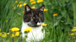 Обои Трехцветный кот на поле с одуванчиками