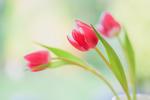 Обои Розовые тюльпаны на светлом фоне