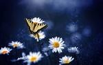 Обои Бабочка сидит на цветке ромашки
