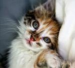 Обои Маленький серый котенок
