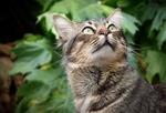 Обои Серый полосатый кот с огромными зелеными глазами смотрит вверх на фоне зеленых листьев