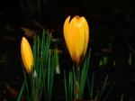 Обои Желтые крокусы на темном фоне, весенние цветы, by Karsten Paulick