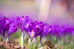 Обои Сиреневые весенние крокусы, фотограф Paula W