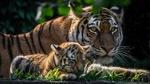 Обои Тигрица с тигренком в заповеднике