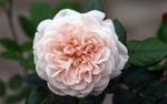 Обои Розовая роза с листочками