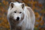 Обои Полярный волк на фоне природы, by Mel. Rick