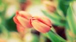 Обои Еще нераскрывшиеся тюльпаны на размытом фоне