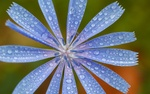 Обои Цветок цикория в каплях росы
